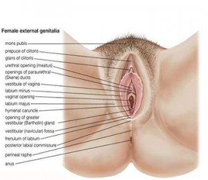 anatomy-of-female-genital-tract-4-638